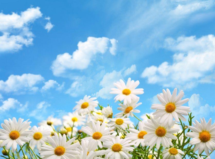 Camomile Daisy Flowers Field Sunshine Sky 90cl